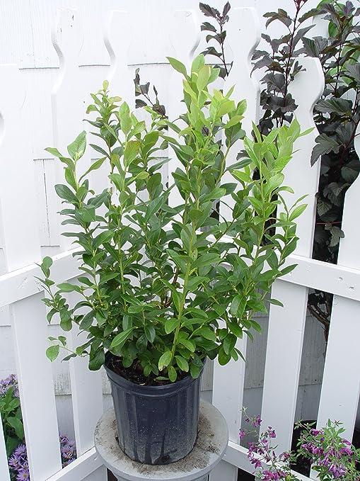 Vaccinium corymbosum 'Patriot' (HighBush Blueberry) Edible-Shrub, #2 - Size  Container