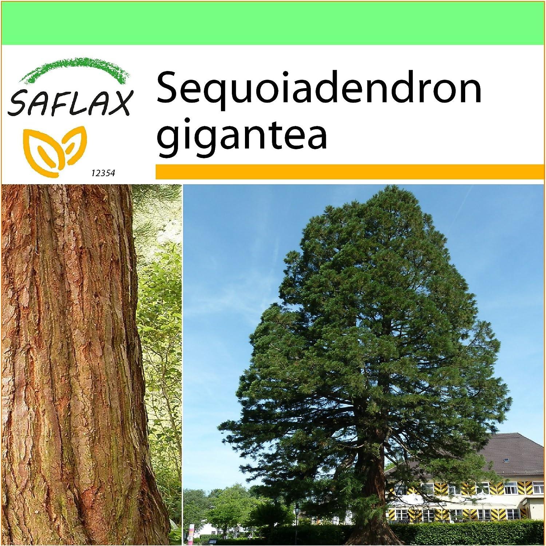 SAFLAX - Garden to Go - Árbol mamut - 50 semillas - Con macetero de barro, platillo, sustrato para cultivo y fertilizante - Sequoiadendron gigantea