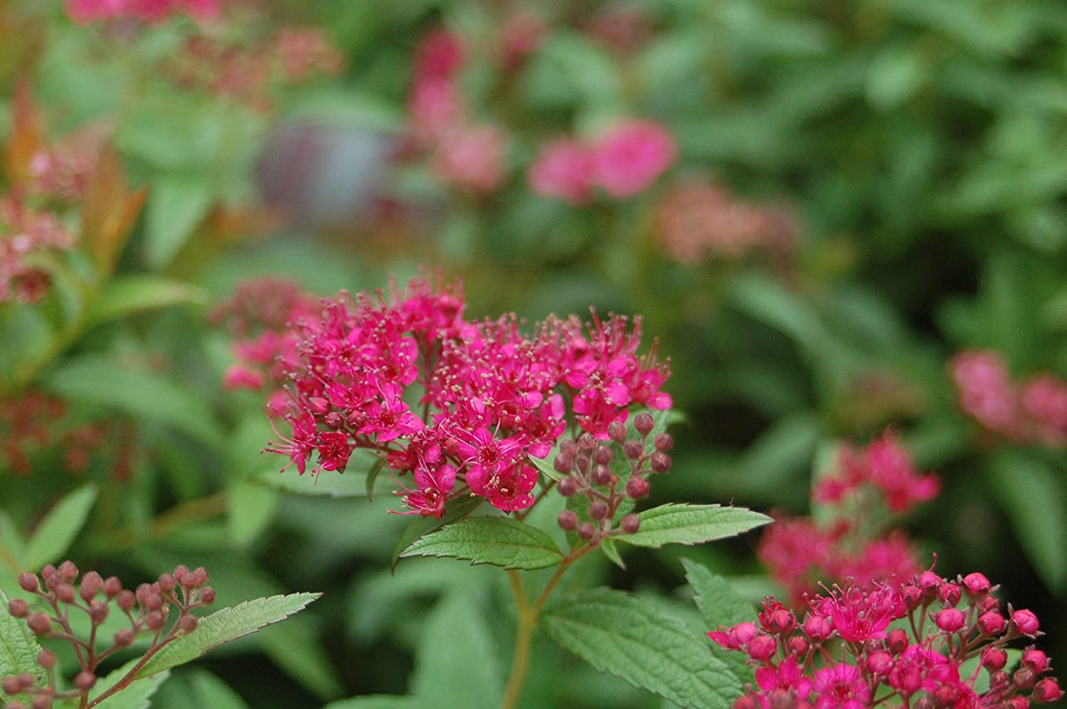 Amazon Spiraea Bumalda Anthony Waterer Spirea Shrub 3