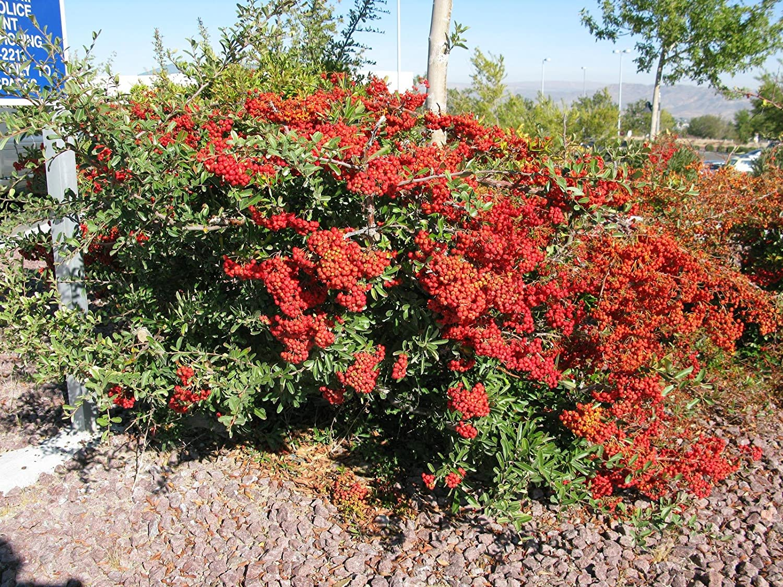 Picture of Live Firethorn aka Pyracantha k. 'Santa Cruz' Shrubs Plant Fit 1 Gallon Pot