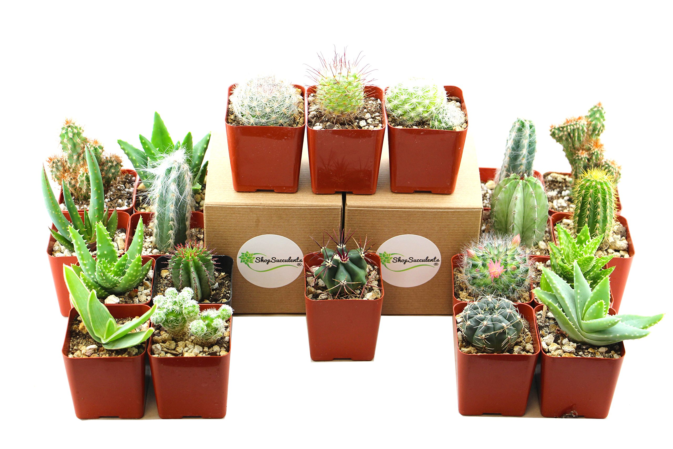 Shop Succulents | Hardy Cactus & Succulent of of Live Succulent Plants, Hand Selected Variety Pack of of Cacti & Succulents | Collection of 12 in2.5'' pots