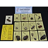 Fossil Collection (13 pc.) with ID Cards & Trilobite, Sharks teeth, Coprolite (fossilized Turtle Poop) Educational Dancing Bear Brand.