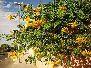 Yellow trumpet vine campsis radicans flava climber with yellow yellow trumpet vine campsis radicans flava climber with yellow trumpet flowers young plant 4 mightylinksfo
