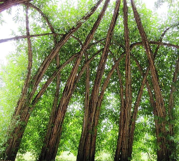 Atemberaubend Energieholz-Weidensteckling für Weidenhäuser bzw. Energiewald- und #DV_46