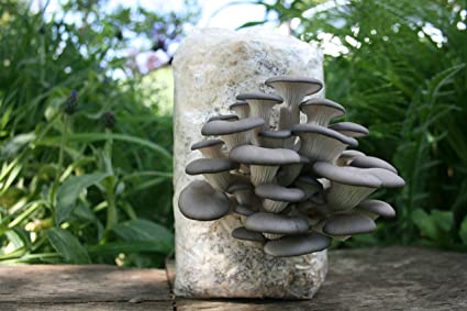 Magic Mushroom Growing Kit