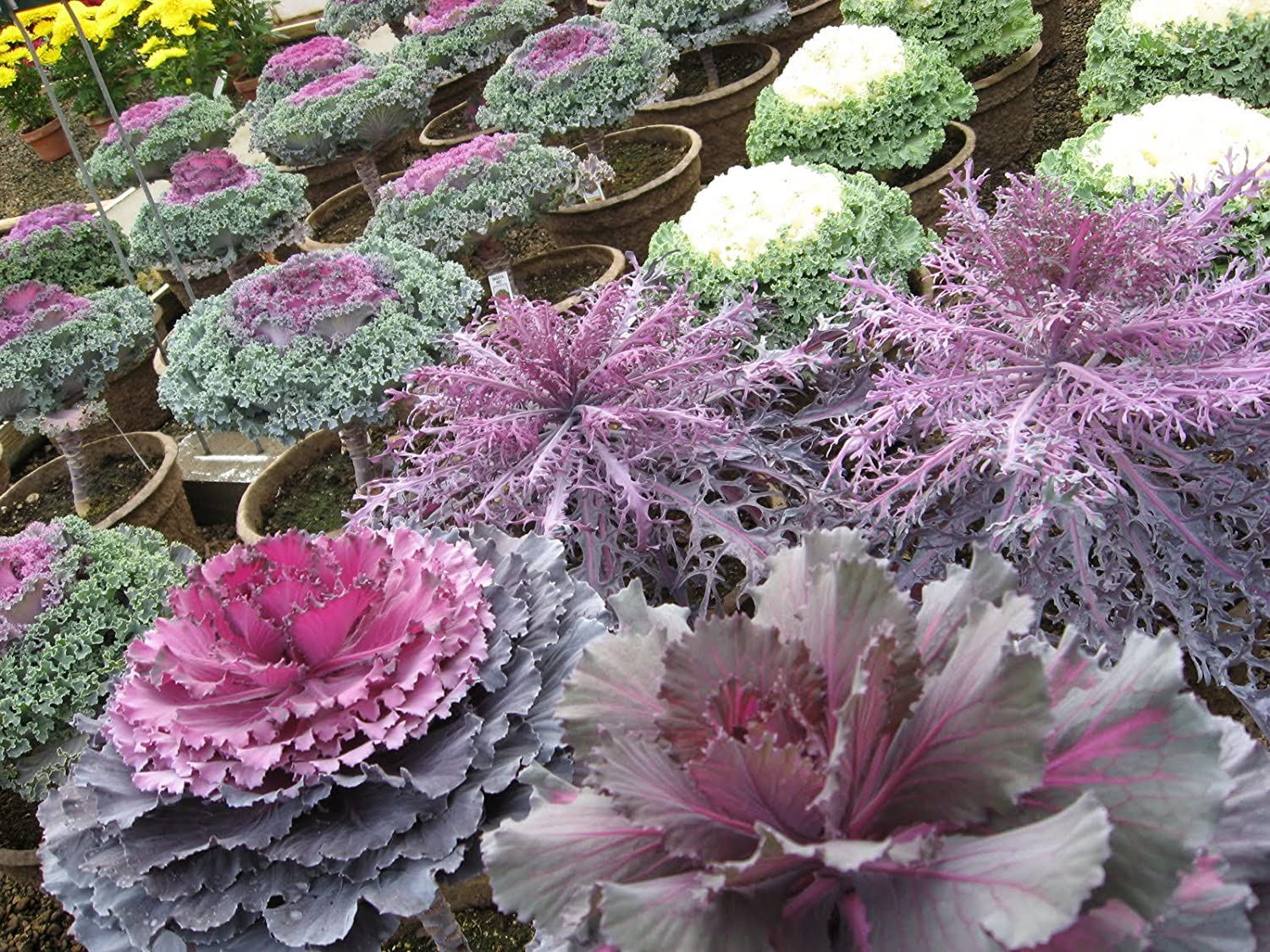 0 3g Approx 100 Ornamental Cabbage Seeds Round Fringed Leaved Flowering Kale Stunning Colors Amazon Co Uk Garden Outdoors