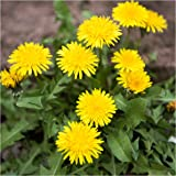 Bulk Package of 10,000 Seeds, Dandelion Herb (Taraxacum officinale) Non-GMO Seeds by Seed Needs