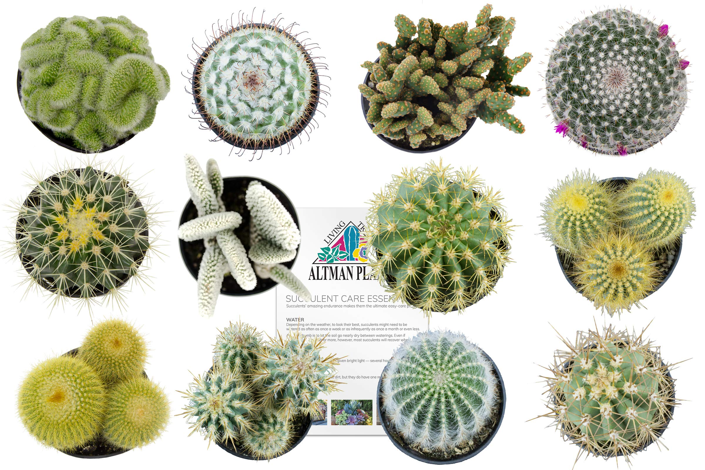 Altman Plants Assorted Live Cactus Collection mini for planters or gifts, 2.5'', 12 Pack by Altman Plants (Image #1)