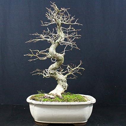 Carpe coreano, Carpinus coreana, bonsái para exterior, 24 años, altura 35 cm: Amazon.es: Jardín