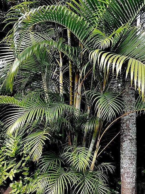 Potseed Las Semillas de germinación: 111 Fresh Areca (Dypsis ...