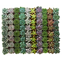 Deals on 32-Pack Shop Succulents Rosette Succulent