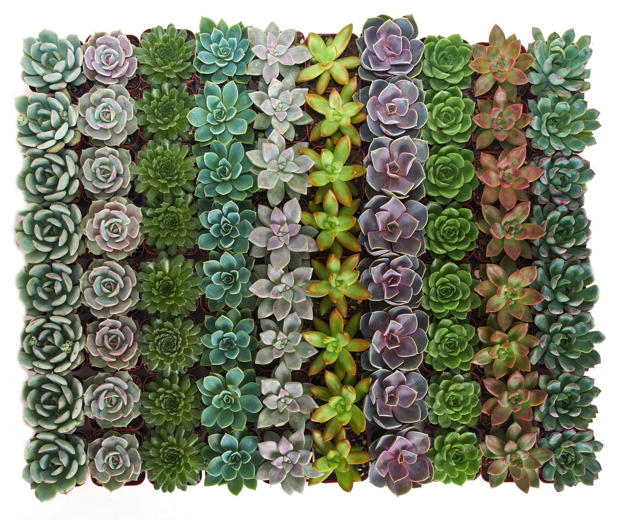 Shop Succulents Rosette Succulent (Collection of 40)