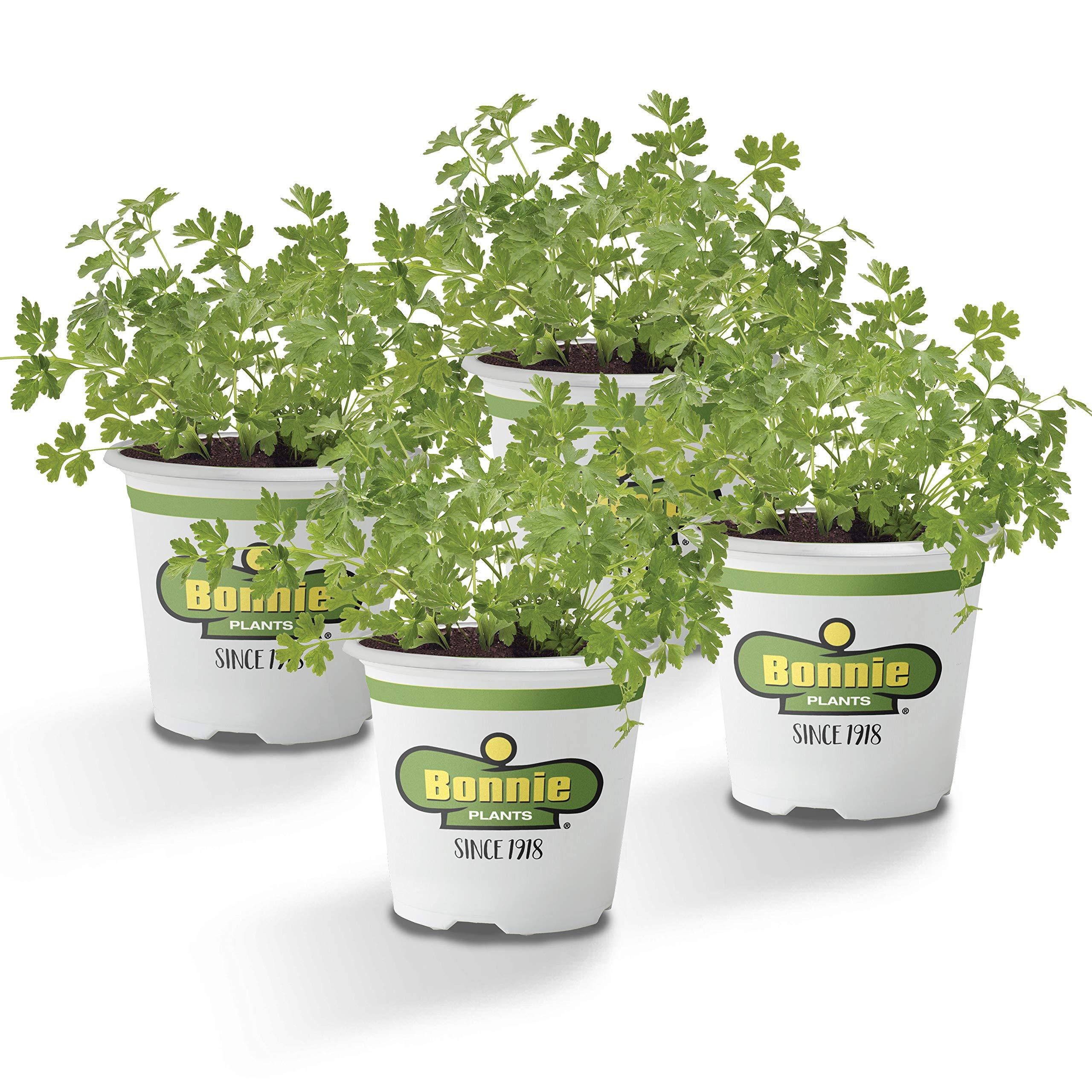 Bonnie Plants Flat Italian Parsley Live Herb Plants - 4 Pack | Biennial | Non-GMO | Garnish, Seasoning, Salads, Palate Cleanser