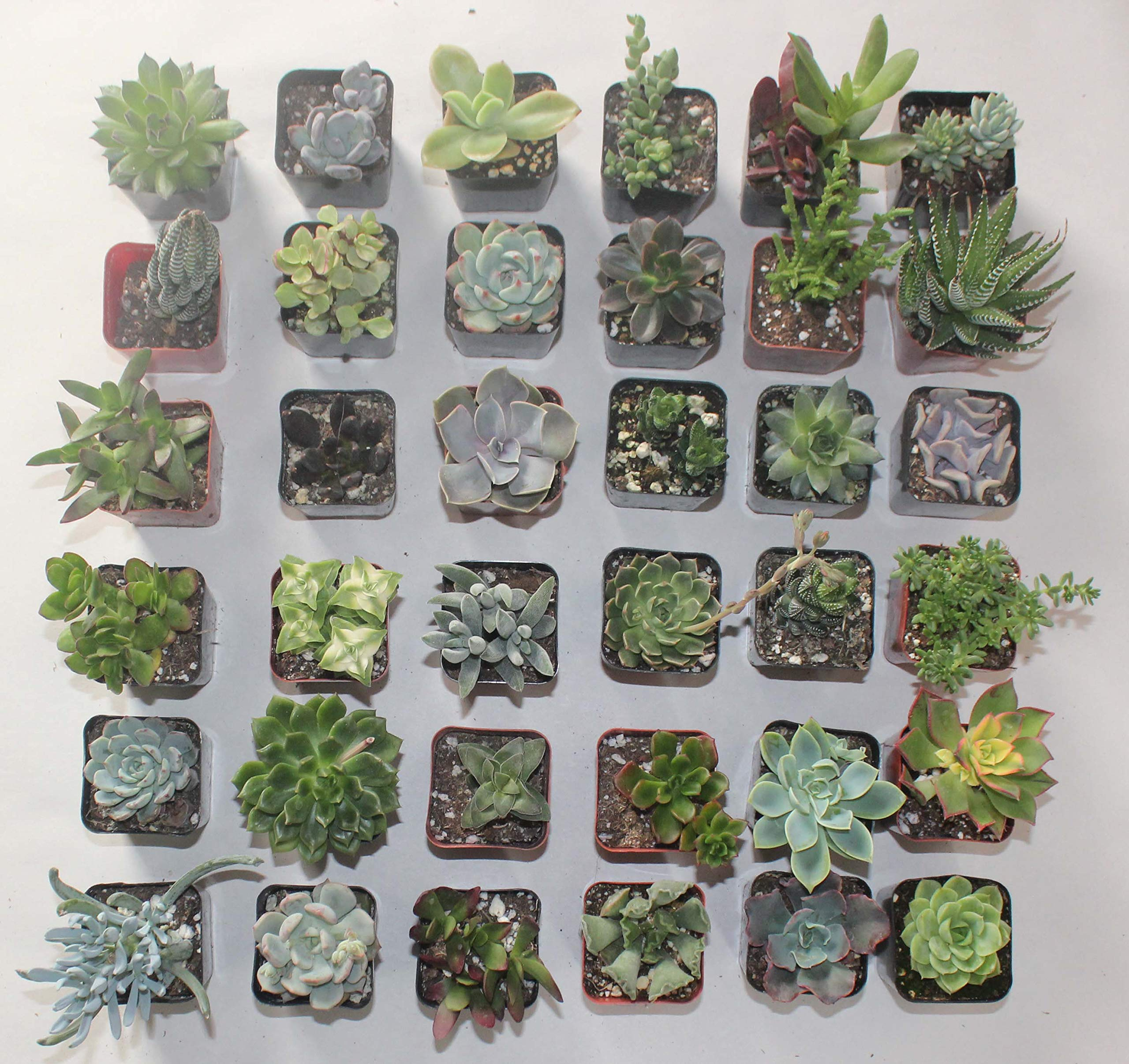 Jiimz 30 Assorted 2'' Succulent Plants