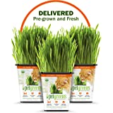 PET GREENS PRE-GROWN 3-PACK OF LIVE CAT GRASS for Indoor Cats Delivered Fresh to Your Door! BRING THE OUTDOORS IN and give yo