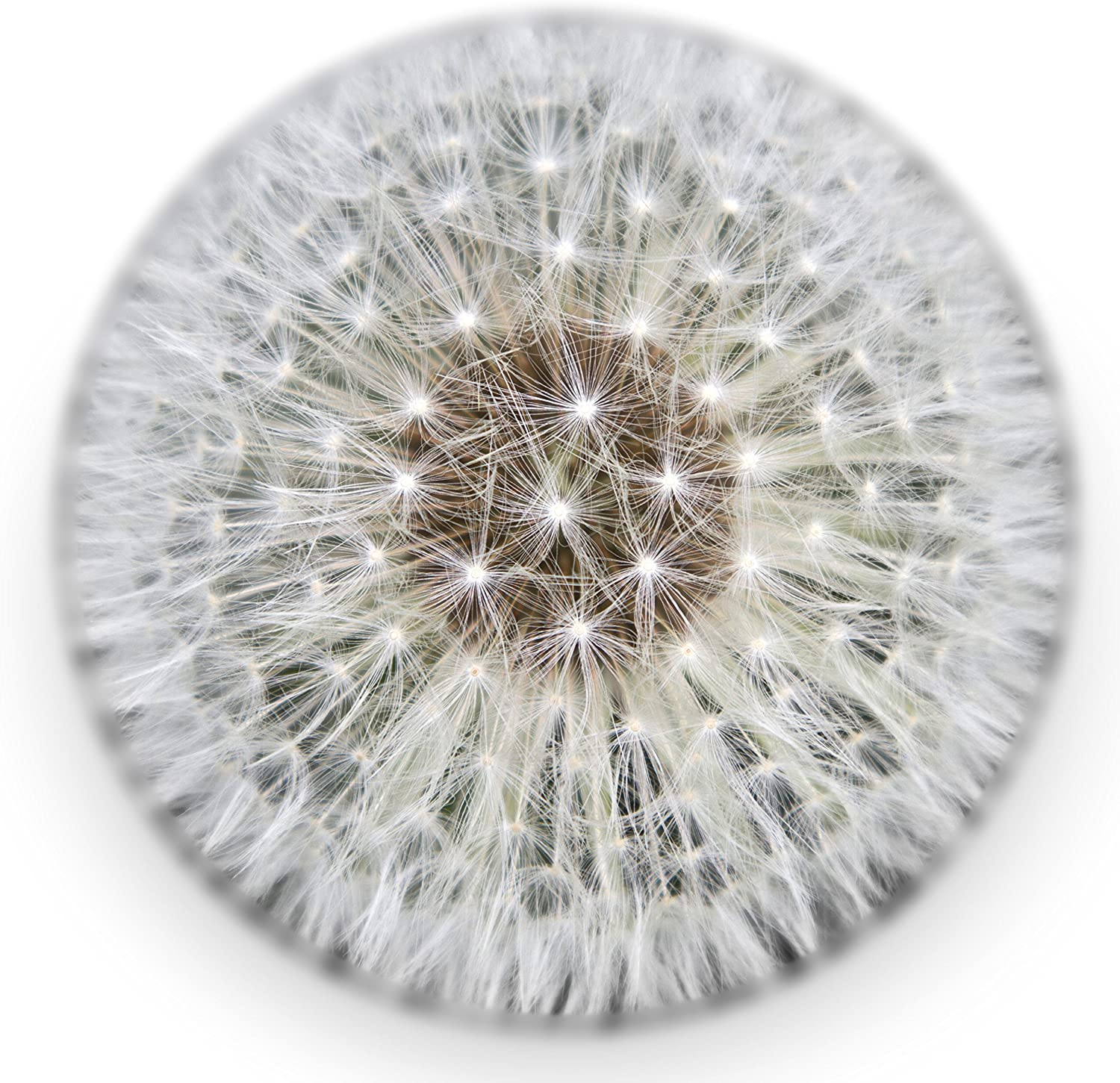 Real Dandelion Paperweight (X-Large) - Made from a Real Dandelion Seed Puff
