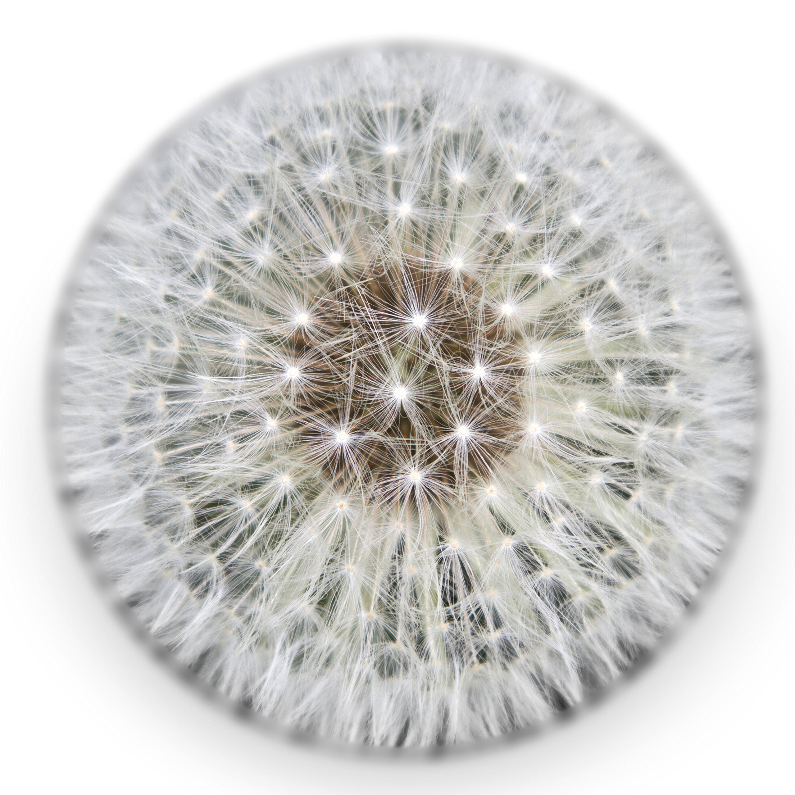 Real Dandelion Paperweight (X-Large) - Made from a Real Dandelion Seed Puff by DANDELION COLLECTIVE