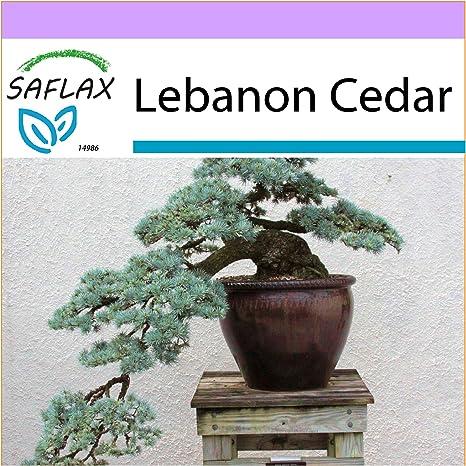 Saflax Bonsai Lebanon Cedar 20 Seeds Outdoor Bonsai Cedrus Libani Amazon Ca Patio Lawn Garden