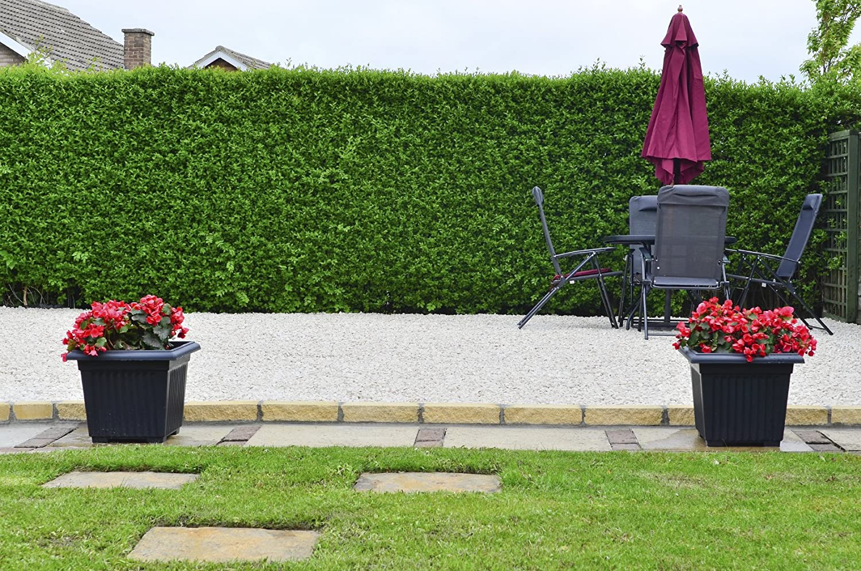 10 Wild Privet Hedging Ligustrum Plants Hedge 40-60cm,Quick Growing Evergreen 3fatpigs® beechwoodtrees 3fatpigs®