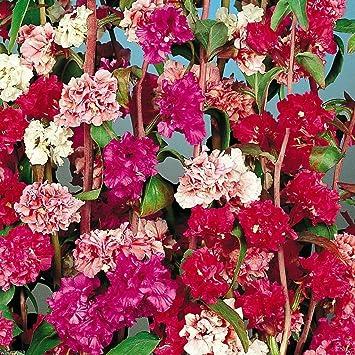 Amazon Com Clarkia Flowers Mountain Garland Clarkia Unguiculata 3 000 Flower Seeds Garden Outdoor