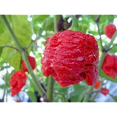 7 Pot Brainstrain Hot Pepper 10+ Seeds: Toys & Games