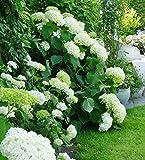 Weiße Schneeball-Hortensie Annabelle - im großen 5 Liter-Topf
