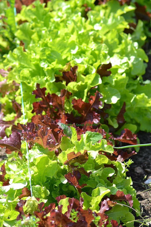 Premier Seeds Direct ORG124 Lettuce Gourmet Salad Blend Organic Seeds (Pack of 1000)