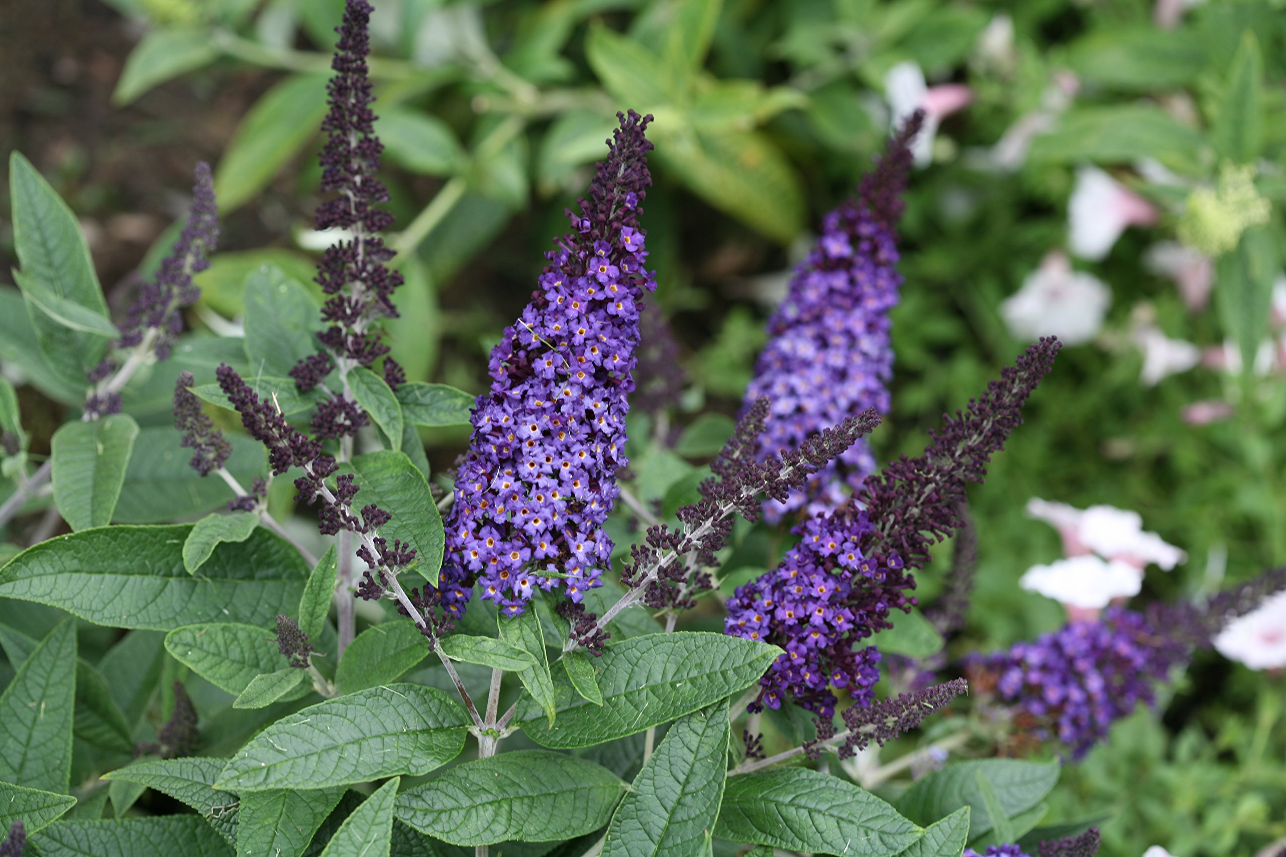 Pugster Blue Butterfly Bush (Buddleia) Live Shrub, Blue Flowers, 1 Gallon by Proven Winners (Image #5)