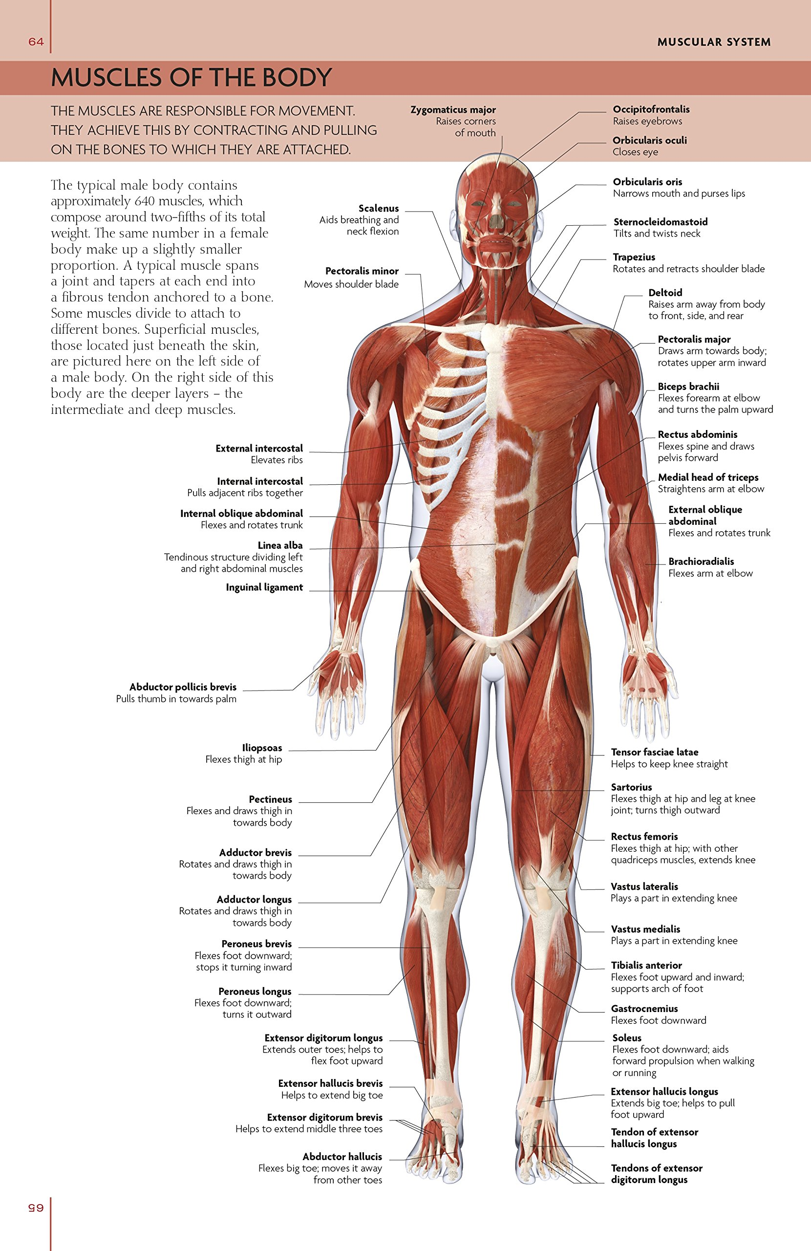 The Concise Human Body Book An Illustrated Guide To Its Structure