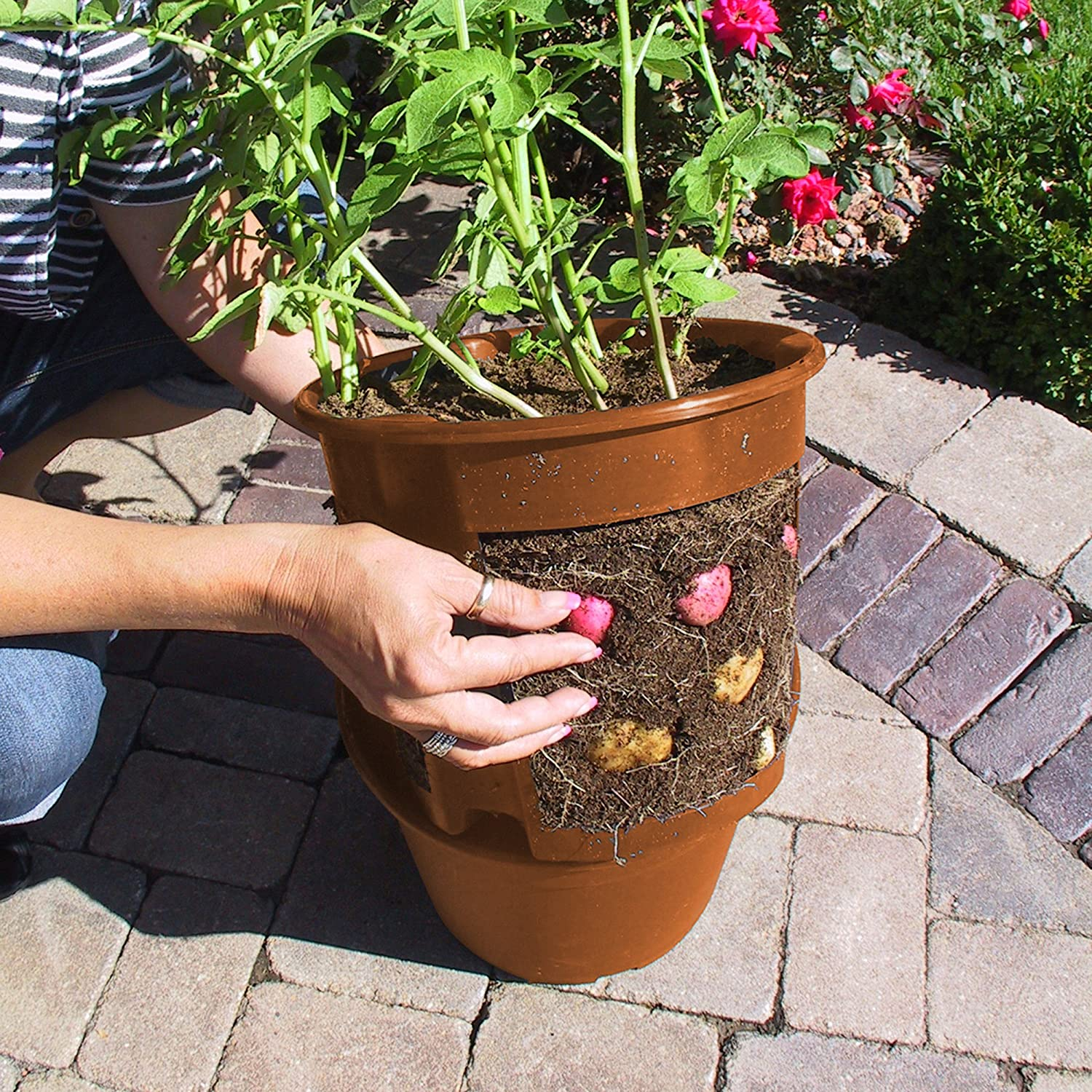 How to grow Potato plants in pots