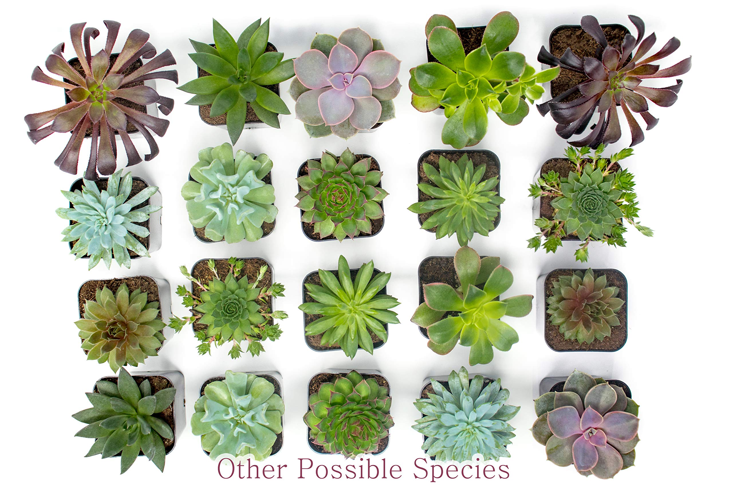 Succulent Plants (5 Pack), Fully Rooted in Planter Pots with Soil -  Real Live Potted Succulents / Unique Indoor Cactus Decor by Plants for Pets 9 HAND SELECTED: Every pack of succulents we send is hand-picked. You will receive a unique collection of species that are FULLY ROOTED IN 2 INCH POTS, which will be similar to the product photos (see photo 2 for scale). Note that we rotate our nursery stock often, so the exact species we send changes every week. THE EASIEST HOUSE PLANTS: More appealing than artificial plastic or fake faux plants, and care is a cinch. If you think you can't keep houseplants alive, you're wrong; our succulents don't require fertilizer and can be planted in a decorative pot of your choice within seconds. DIY HOME DECOR: The possibilities are only limited by your imagination; display them in a plant holder, a wall mount, a geometric glass vase, or even in a live wreath. Because of their amazingly low care requirements, they can even make the perfect desk centerpiece for your office.