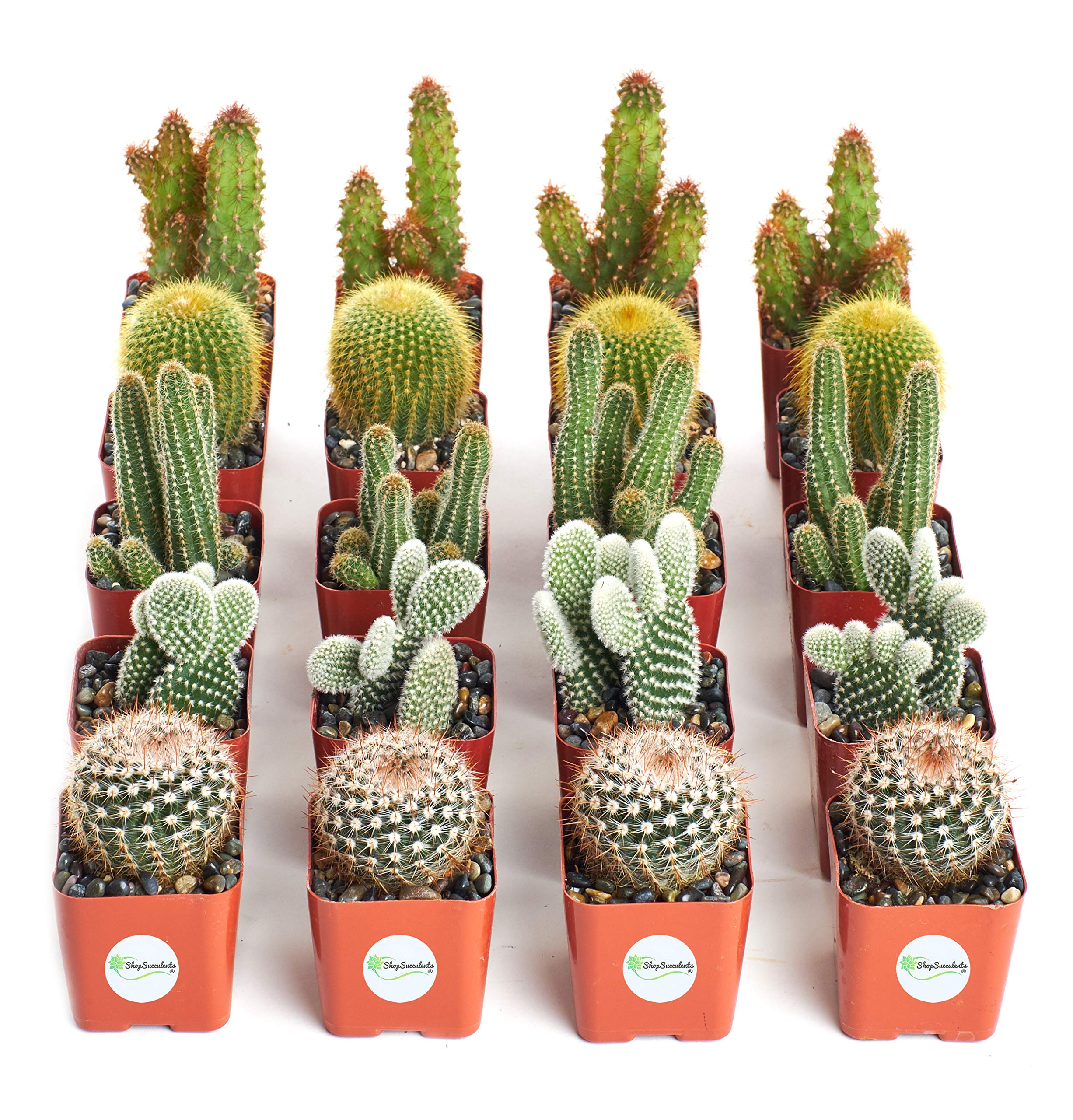 Shop Succulents | Cool Cactus Collection of Live Succulent Plants, Hand Selected Variety Pack of Cacti | Collection of 20 by Shop Succulents