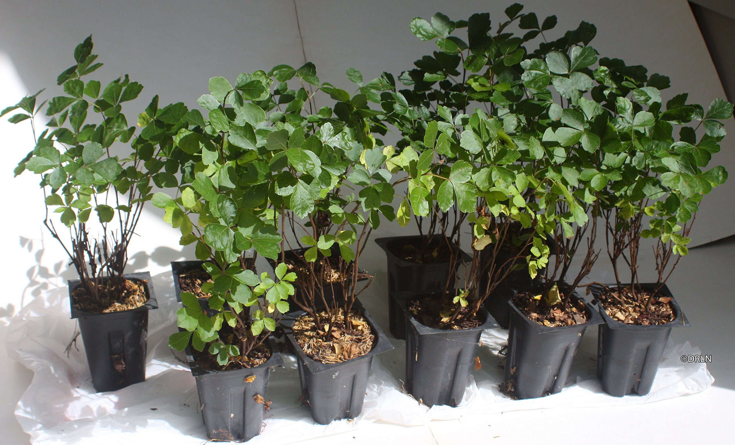 Rhus aromatica Gro-Low Package of 10 plants in 4''-deep pots by Deer-resistant Landscape Nursery