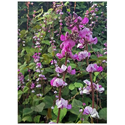 Hyacinth Bean Vine Seeds: Purple, Lablab purpureus, Dolichos Lablab Annual Vine from USA (10+ Seeds) : Garden & Outdoor