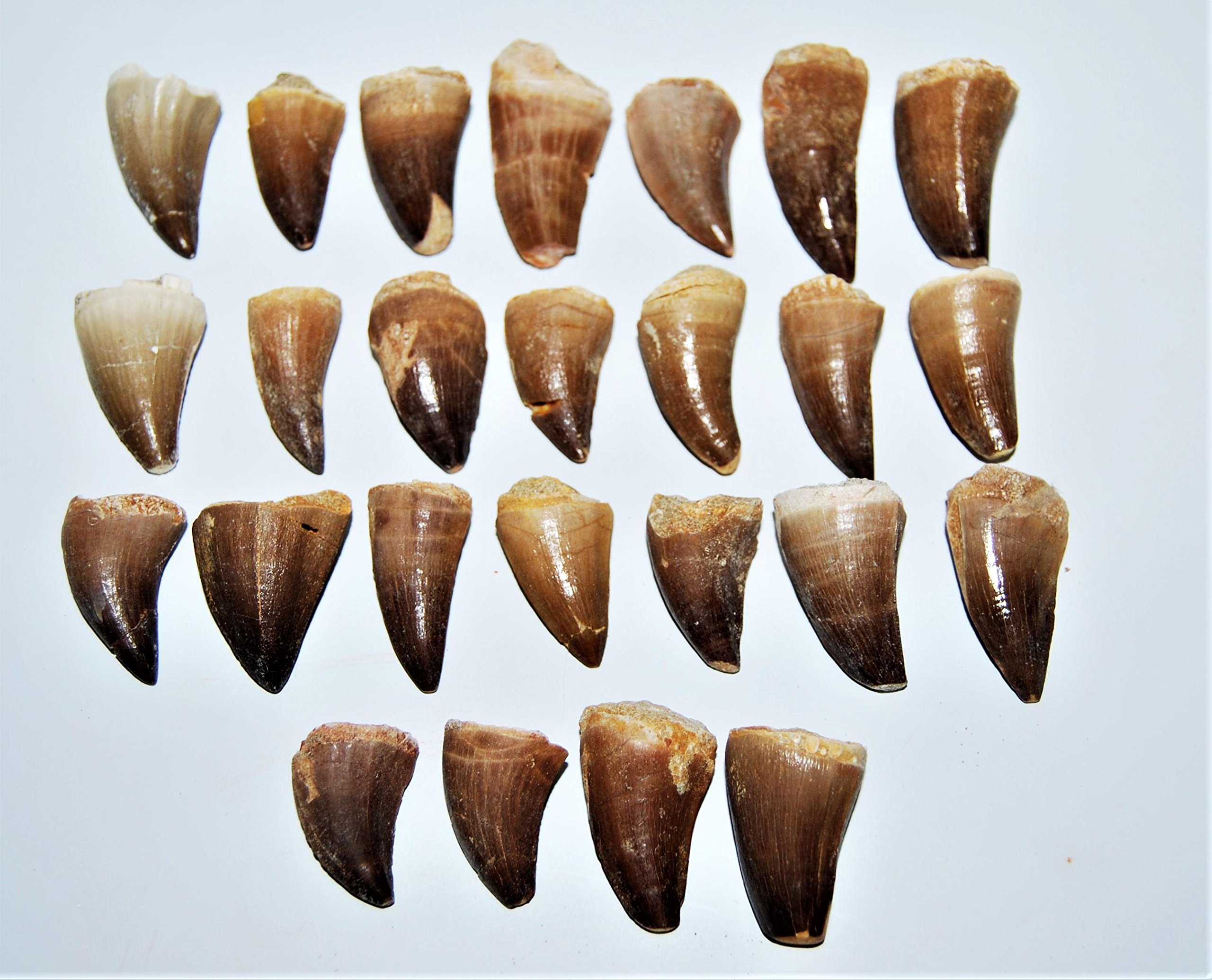 Mosasaur Tooth Fossils LOT of 25 (M) 1-1 1/2 Inch Dinosaur Age Teeth