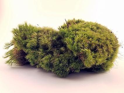 Amazon Com Ez Botanicals Fresh Mood Moss Perfect For Terrariums