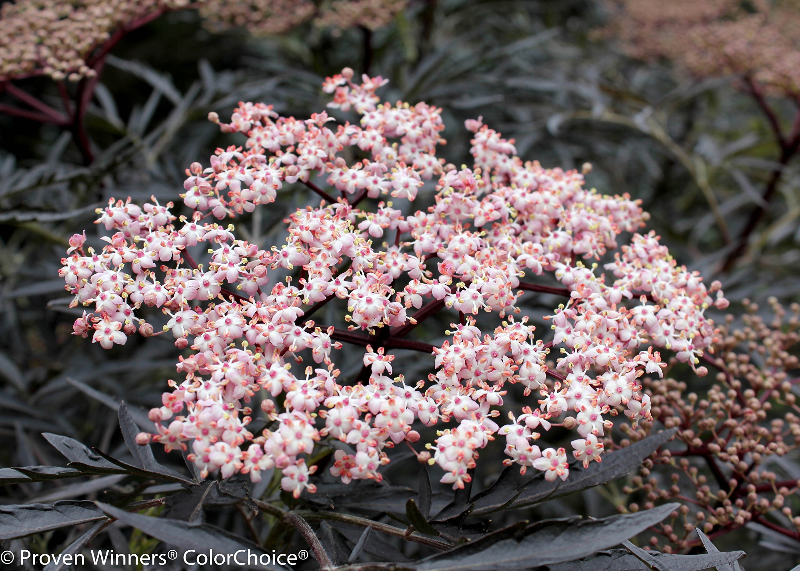 Black Lace Elderberry (Sambucus) Live Shrub, Pink Flowers, 4.5 in. Quart by Proven Winners (Image #8)