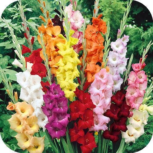 Gladiolus Flower Wallpapers