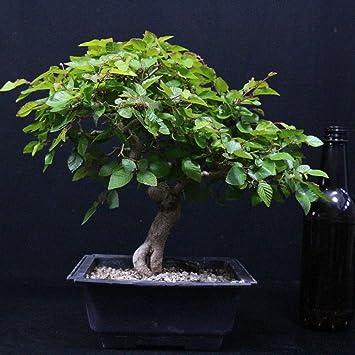 Carpe coreano, Carpinus coreana, bonsái para exterior, 18 años, altura 24 cm