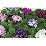 "Optimara African Violet Variety Pack (4 Assorted Plants) (4"" Pots)"
