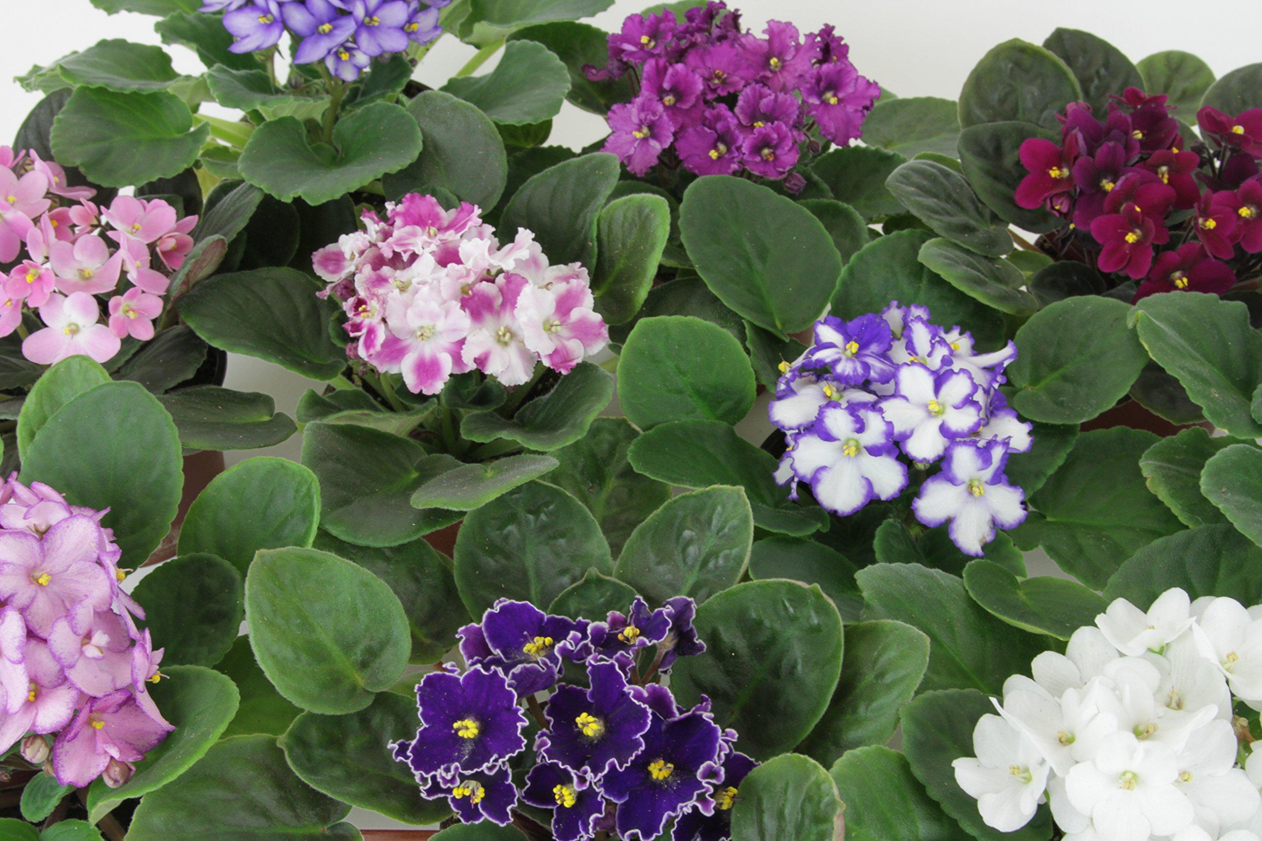 Optimara African Violet Variety Pack (4 Assorted Plants) (4'' Pots)