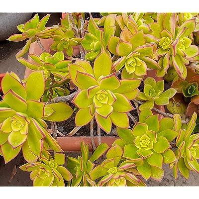 JDY 2 Pcs Cutting Aeonium Kiwi - 183EB : Garden & Outdoor