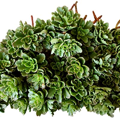 Cal Summer Garden 40+ Sedum Weihenstephaner Gold Unrooted Cuttings Ground Cover Stonecrop Succulents : Garden & Outdoor