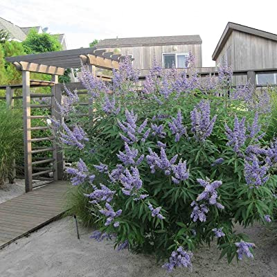 LILAC CHASTE TREE Vitex Agnus castus 10 SEEDS : Garden & Outdoor