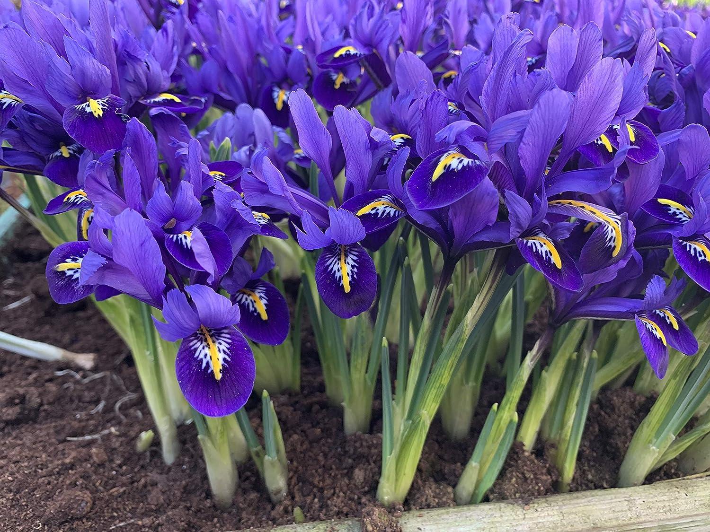 Woodland bulbs/® 100 x Iris Bulbs /'Pixie/' Reticulata Bulbs Spring Flowering Garden Bulbs Free UK P/&P