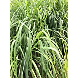 Lemongrass Plant- 3 Seperate in 2.25 Inch Size! Non GMO! Organic! Also Known As Fever Grass, Cymbopogon Citratus/ by Daylily