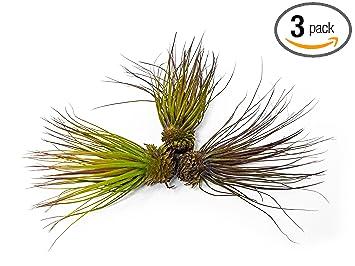 3 GIANT Magnusiana Air Plants (Tillandsia Magnusiana)   5 To 6 Inch  Tillandsia