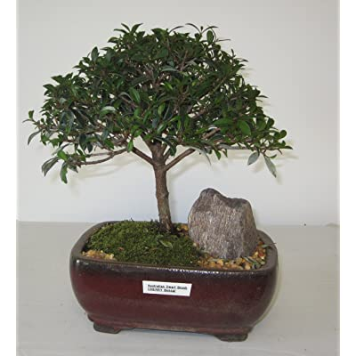 [Bonsai Gardens] Highest Quality, Medium Dwarf Australian Brush Cherry Bonsai Tree: Garden & Outdoor