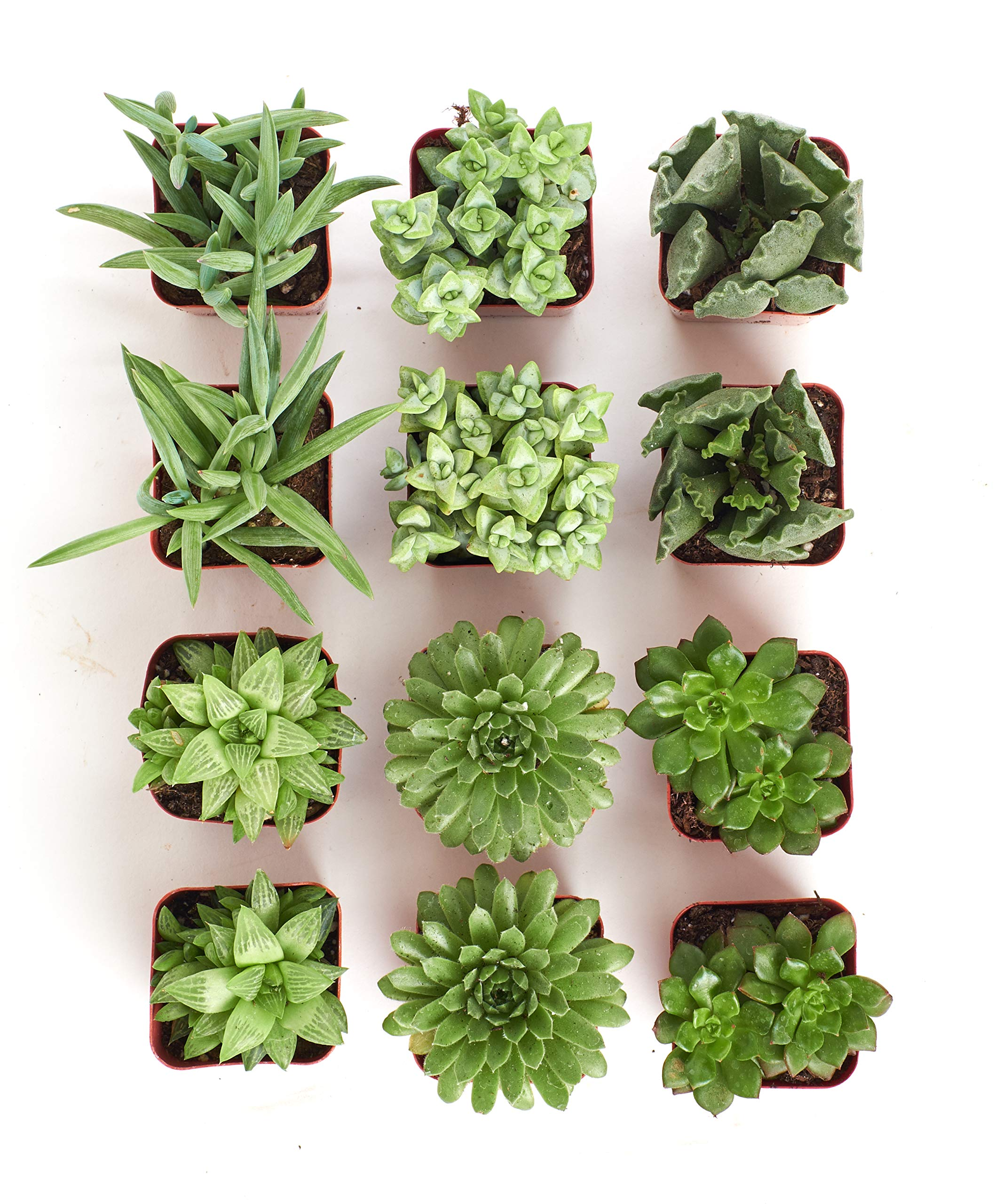 Shop Succulents | Green Live Plants, Hand Selected Variety Pack of Mini Succulents | | Collection of 12 in 2'' pots, Pack of 12 by Shop Succulents (Image #5)