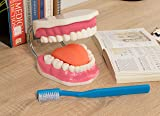 Mouth Model - Dental Care Oral Hygiene Model with